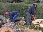 Large dangerous tree is felled using chainsaws